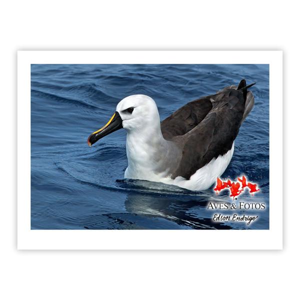 Albatroz-de-nariz-amarelo Impressão Fotográfica 40x30cm Aves e Fotos Editora por Edson Endrigo