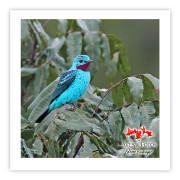 Anambé-azul (macho) - Copyright © AVES & FOTOS Editora / Edson Endrigo