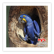 Arara-azul-grande Impressão Fotográfica 30x30cm Aves e Fotos por Edson Endrigo
