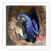Arara-azul-grande Impressão Fotográfica 45x45cm Aves e Fotos por Edson Endrigo