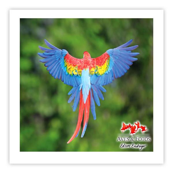 Araracanga Impressão Fotográfica 30x30cm Aves e Fotos por Edson Endrigo