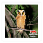 Caburé-acanelado - Copyright © AVES & FOTOS Editora / Edson Endrigo