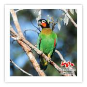 Curica-de-bochecha-laranja Impressão Fotográfica 45x45cm Aves e Fotos por Edson Endrigo
