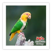 Marianinha-de-cabeça-amarela - Copyright © AVES & FOTOS Editora / Edson Endrigo