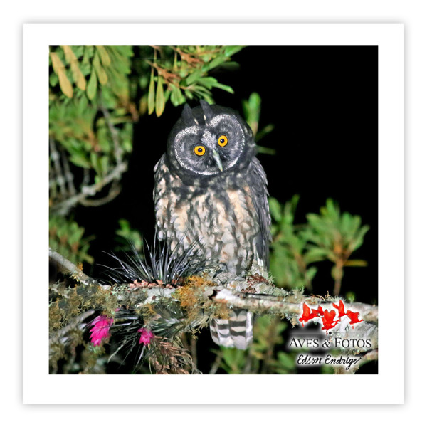 Mocho-diabo Impressão Fotográfica 30x30cm Aves e Fotos