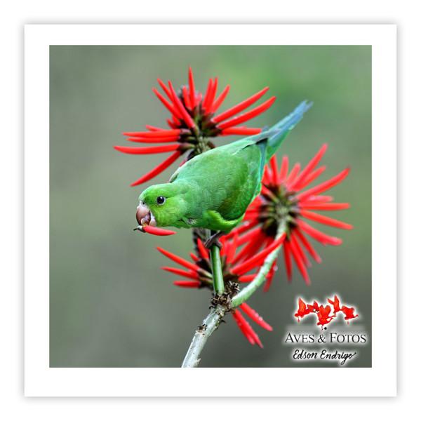 Periquito-rico Impressão Fotográfica 30x30cm Aves e Fotos por Edson Endrigo