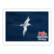Rabo-de-palha-de-bico-vermelho Impressão Fotográfica 40x30cm Aves e Fotos Editora por Edson Endrigo