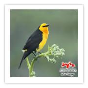 Veste-amarela - Copyright © AVES & FOTOS Editora / Edson Endrigo