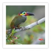 Araçari-negro (fêmea) - Copyright © AVES & FOTOS Editora / Edson Endrigo
