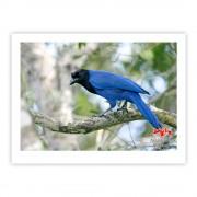 Gralha-azul - Copyright © AVES & FOTOS Editora / Edson Endrigo
