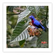 Anambé-de-peito-roxo (macho) - Copyright © AVES & FOTOS Editora / Edson Endrigo