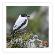Anambé-branco-de-rabo-preto (macho) - Copyright © AVES & FOTOS Editora / Edson Endrigo