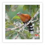 Chincoã-de-bico-vermelho - Copyright © AVES & FOTOS Editora / Edson Endrigo