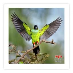 Periquito-de-cabeça-preta