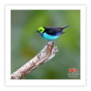 Sete-cores-da-amazônia - Copyright © AVES & FOTOS Editora / Edson Endrigo