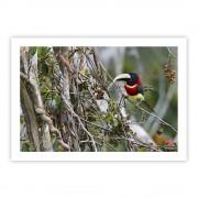 Araçari-de-pescoço-vermelho - Copyright © AVES & FOTOS Editora / Edson Endrigo