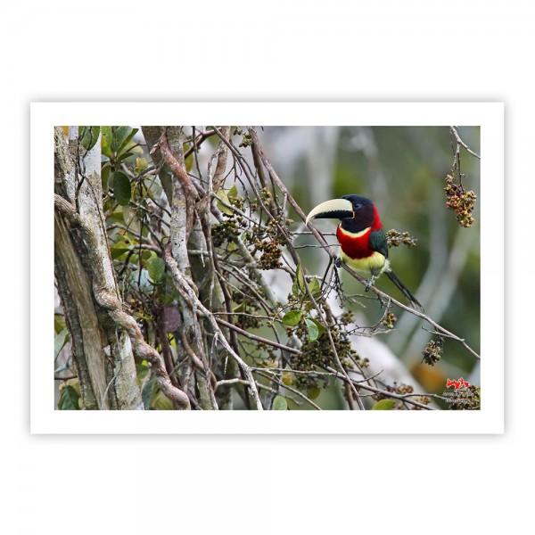 Araçari-de-pescoço-vermelho Impressão Fotográfica 50x35cm