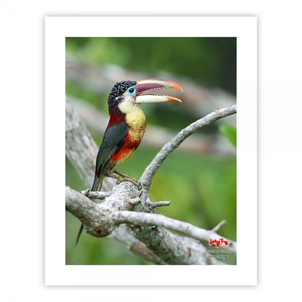 Araçari-mulato Impressão Fotográfica 26x36cm Aves e Fotos por Edson Endrigo