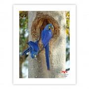Arara-azul-grande (casal no ninho) - Copyright © AVES & FOTOS Editora / Edson Endrigo
