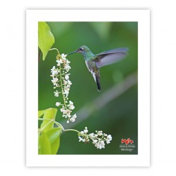 Beija-flor-de-garganta-verde