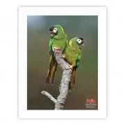Maracanã-de-colar (casal) - Copyright © AVES & FOTOS Editora / Edson Endrigo
