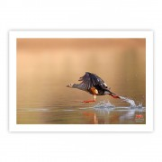 Pato-corredor  -  Copyright © AVES & FOTOS Editora / Edson Endrigo