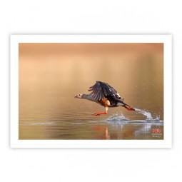 Pato-corredor