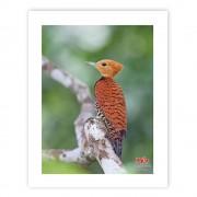 Pica-pau-de-coleira (fêmea) - Copyright © AVES & FOTOS Editora / Edson Endrigo