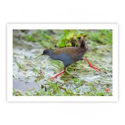 Saracura-do-banhado